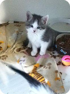 Domestic Shorthair Kitten for adoption in Hamilton, Ontario - Koala
