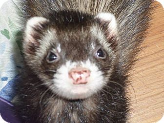 Ferret for adoption in Fawn Grove, Pennsylvania - Merky