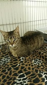 Domestic Shorthair Cat for adoption in Owenboro, Kentucky - MOLLY!