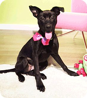 Labrador Retriever/Labrador Retriever Mix Puppy for adoption in Castro Valley, California - Ginny