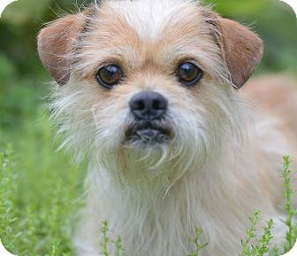 Cairn Terrier/Terrier (Unknown Type, Small) Mix Dog for adoption in LAFAYETTE, Louisiana - OAKLEY
