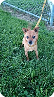 Chihuahua/Miniature Pinscher Mix Dog for adoption in Holland, Ohio - Chip