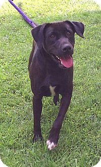 Labrador Retriever Mix Dog for adoption in Metamora, Indiana - Duke