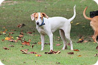 Hound (Unknown Type)/Terrier (Unknown Type, Medium) Mix Dog for adoption in Prince Frederick, Maryland - Ricky