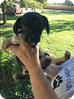 Dachshund/Chihuahua Mix Puppy for adoption in Ashville, Ohio - Tyson