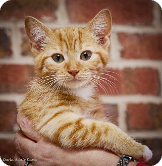 Domestic Shorthair Kitten for adoption in Lincolnton, North Carolina - Bobby