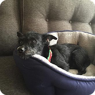 Terrier (Unknown Type, Small) Mix Dog for adoption in San Diego, California - Joshua