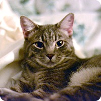 Domestic Shorthair Cat for adoption in West Palm Beach, Florida - Suri