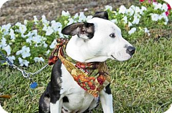 Bull Terrier Mix Dog for adoption in Melrose, Florida - Lucy