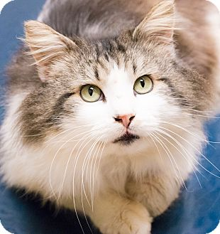 Maine Coon Cat for adoption in Chicago, Illinois - Cyrano