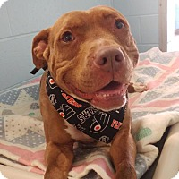 American Staffordshire Terrier Mix Dog for adoption in Chestertown, Maryland - Layla