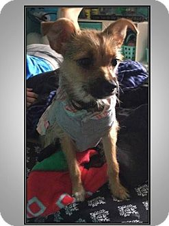 Yorkie, Yorkshire Terrier/Chihuahua Mix Puppy for adoption in LaGrange, Kentucky - JOSLYN