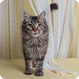 Domestic Longhair Kitten for adoption in Wilmington, Delaware - Romie