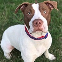 American Bulldog/American Staffordshire Terrier Mix Dog for adoption in Proctorville, Ohio, Ohio - Bentley