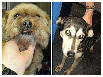 Pekingese/Husky Mix Dog for adoption in Henderson, North Carolina - Agnus & Angel