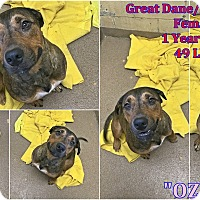 Pit Bull Terrier/Great Dane Mix Dog for adoption in Triadelphia, West Virginia - 1-1 Ozzie