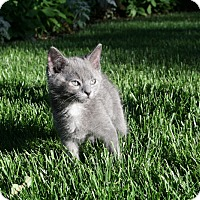 Adopt A Pet :: Nermal - oklahoma city, OK