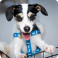 Jack Russell Terrier Dog for adoption in St. Louis Park, Minnesota - Banjo