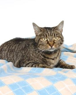 Domestic Shorthair/Domestic Shorthair Mix Cat for adoption in Gloucester, Virginia - GIPSY