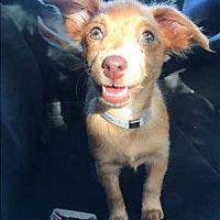Adopt A Pet :: Coco - Encino, CA