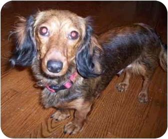 Dachshund Dog for adoption in Chicago, Illinois - Schatzie