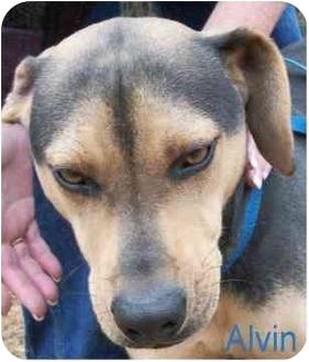 Labrador Retriever/Shepherd (Unknown Type) Mix Dog for adoption in Ozark, Alabama - Alvin