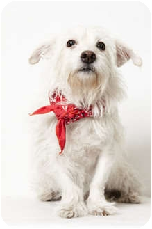 Westie, West Highland White Terrier Mix Dog for adoption in New York, New York - Tallulah