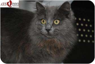 Domestic Longhair Cat for adoption in Yuba City, California - Rosey (Unknwn Age)