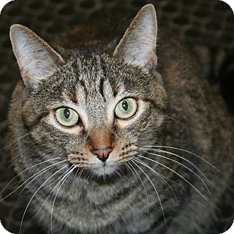 Domestic Shorthair Cat for adoption in Edmonton, Alberta - Coco