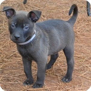 Labrador Retriever/Terrier (Unknown Type, Medium) Mix Puppy for adoption in Athens, Georgia - Ziggy