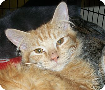 Domestic Longhair Kitten for adoption in Grants Pass, Oregon - Oscar