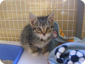Domestic Shorthair Kitten for adoption in Kelseyville, California - Linus