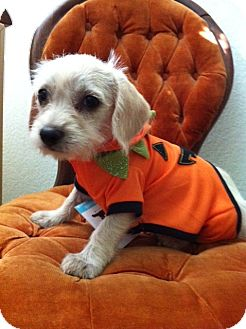 Poodle (Toy or Tea Cup)/Terrier (Unknown Type, Small) Mix Puppy for adoption in Corona, California - LEMON DROP  ,  TerriPoo
