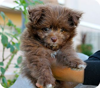 Pomeranian/Poodle (Miniature) Mix Puppy for adoption in Los Angeles, California - Rupert