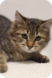 Domestic Mediumhair Kitten for adoption in Sacramento, California - Riley
