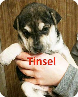 Siberian Husky/Shar Pei Mix Puppy for adoption in New Oxford, Pennsylvania - Tinsel