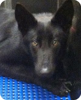 German Shepherd Dog Dog for adoption in Nashville, Tennessee - NOIRE