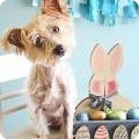 Adopt A Pet :: Corkie - Hilliard, OH
