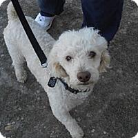 Adopt A Pet :: Miles - Lockhart, TX