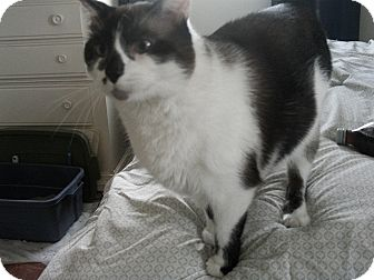 Snowshoe Cat for adoption in Fairborn, Ohio - King Louie