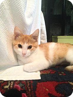 Domestic Shorthair Kitten for adoption in Richmond, Virginia - Jenny