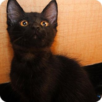 Domestic Mediumhair Kitten for adoption in Chandler, Arizona - Kit Kat