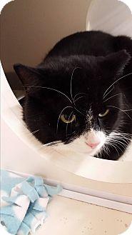 Domestic Shorthair Cat for adoption in Stafford, Virginia - Grahm