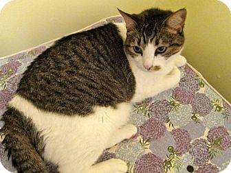 Domestic Shorthair Cat for adoption in Winder, Georgia - Nana