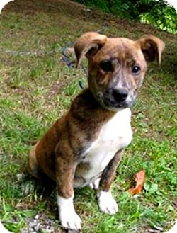 Hound (Unknown Type)/Terrier (Unknown Type, Medium) Mix Puppy for adoption in Hockessin, Delaware - Belle