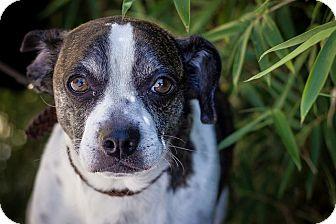 Boston Terrier/Dachshund Mix Dog for adoption in Berkeley, California - Dodger