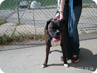 Boxer Mix Dog for adoption in Renfrew, Pennsylvania - Jester