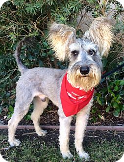 Schnauzer (Miniature) Mix Dog for adoption in San Diego, California - OSCAR