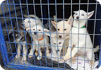 Husky/German Shepherd Dog Mix Puppy for adoption in Emeryville, California - HUSKY PUP THREE