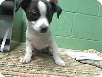 Chihuahua/Boston Terrier Mix Puppy for adoption in Fullerton, California - Bobby